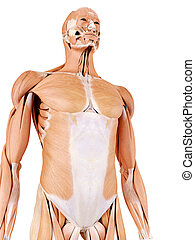 abdominal muscles - medically accurate anatomy illustration...