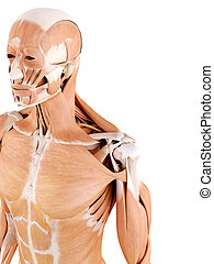 shoulder muscles - medically accurate anatomy illustration -...