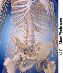 nerves of the abdomen - medically accurate illustration -...