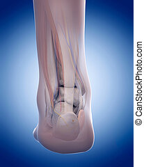 the achilles tendon - medically accurate illustration of the...