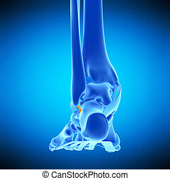 the calcaneofibular ligament