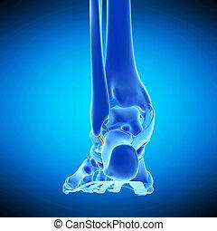 the calcaneofibular ligament