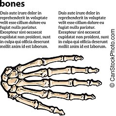 medically accurate illustration of the hand bones - bones of...