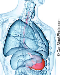 the esophagus - medically accurate illustration of the ...