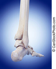 the foot bones - medically accurate illustration of the foot...