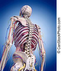 the human anatomy