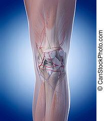 the knee anatomy