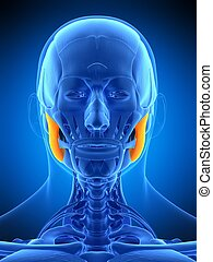 the masseter superior - medically accurate illustration of ...