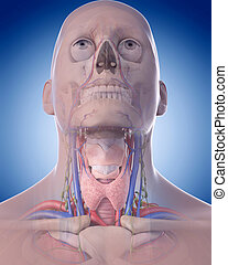 the neck anatomy - medically accurate illustration of the...