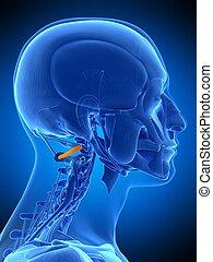 the obliquus inferior capitis - medically accurate...
