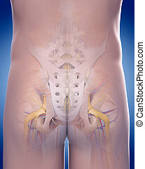 the posterior pelvic anatomy - medically accurate...