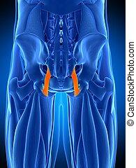 the sacrotuberous ligament