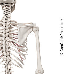 the skeletal system - the shoulder - medically accurate ...