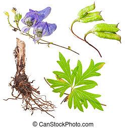 medicinal, aconite, plant: