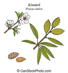 Medicinal and kitchen plant almond Prunus dulcis . Hand...