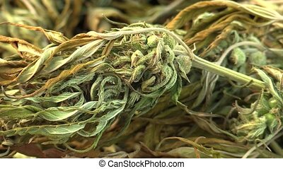 Medicinal cannabis hemp harvested dried quality seeds detail...