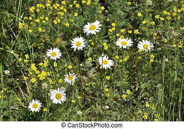 medicinal chamomile