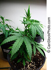 medicinal, cultivo, marijuana
