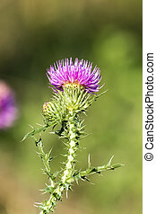 Brightly violet flower of spiny plumeless thistle (Carduus...