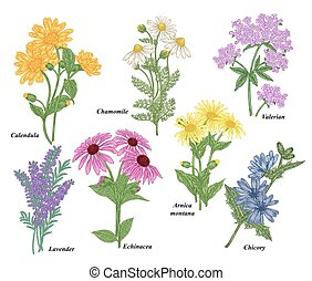 Medicinal herbs collection. Chamomile, Calendula, Echinacea, Valerian, Lavender, Arnica montana, Chicory flowers. Vector illustration botanical. Colorful engraved style.