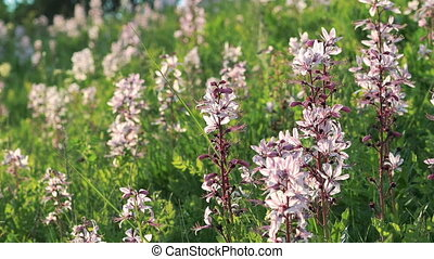 Medicinal herbs Dittany (Dictamnus albus) flowers in full HD