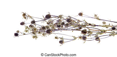 Medicinal herbs, thistle, (Carduus) - Medicinal herbs,...