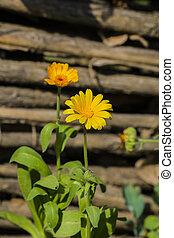 Yellow-hot flower of marigold (Calendula officinalis)