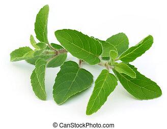 Medicinal holy basil leaves - Medicinal holy basil or tulsi...