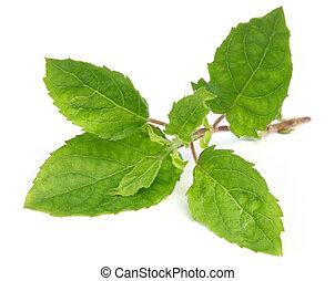Medicinal holy basil or tulsi leaves