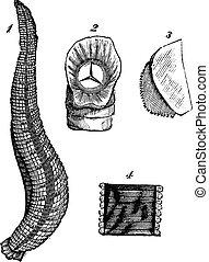 Medicinal leech or Hirudo medicinalis vintage engraving -...