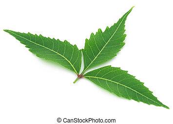 Medicinal neem leaf over white background