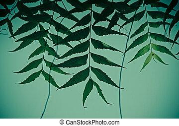 Medicinal Neem leaves-Azadirachta indica