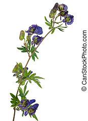 medicinal, plant:, aconite
