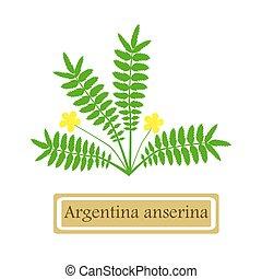Argentina anserina - Medicinal plant Argentina anserina in...