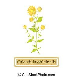 Calendula officinalis (common marigold) in flat style