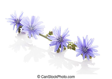 Medicinal plant chicory