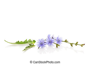 Medicinal plant chicory.