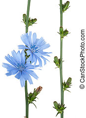 Medicinal plant: Chicory