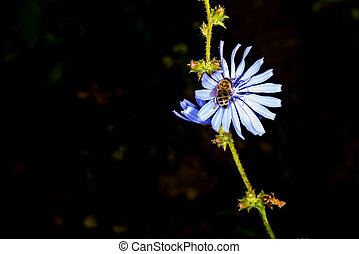 Medicinal plant chicory with flower