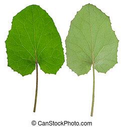 Medicinal plant: coltsfoot
