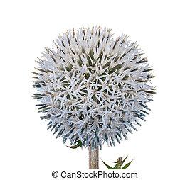 Medicinal plant: Echinops