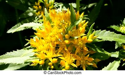 Medicinal plant Golden root.