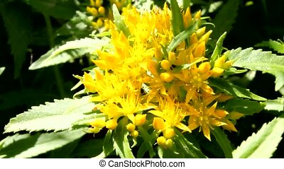 Medicinal plant Golden root. Beautiful inflorescence of the...
