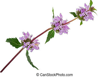 Medicinal plant: Phlomoides tuberosa