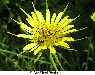 Medicinal plant Tragopogon and Bee - Tragopogon blooms only ...