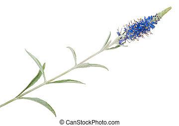 medicinal, plant:, veronica, incana
