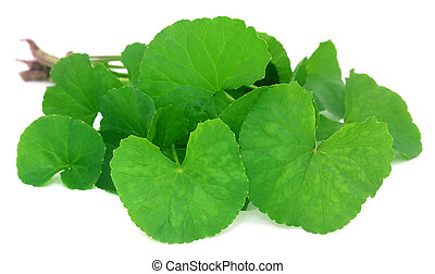 Medicinal thankuni leaves