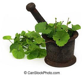 Medicinal thankuni leaves with mortar and pestle - Medicinal...