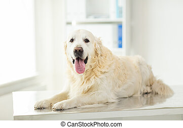close up of golden retriever dog at vet clinic