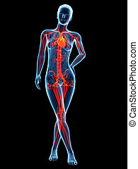 medico, -, sistema, illustrazione, anatomia, femmina, 3d, cardiovascolare